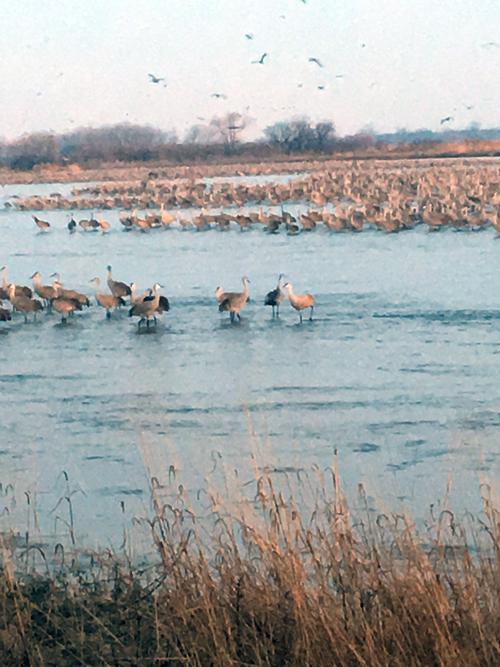 Sandhill Cranes at dawn